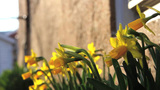 Yellow Daffodils Blowing In The Wind stock footage