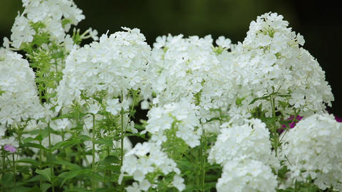 White Flowers on the Defocused Background Footage