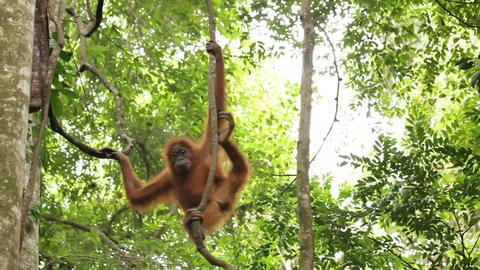 Wild Orangutan stock footage