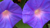 Two Flowering Violets In Soft Morning Light CU stock footage