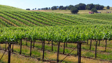 Vineyard Grapevines Across Rolling Hlls stock footage