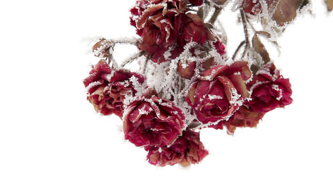 Roses In Hoarfrost stock footage