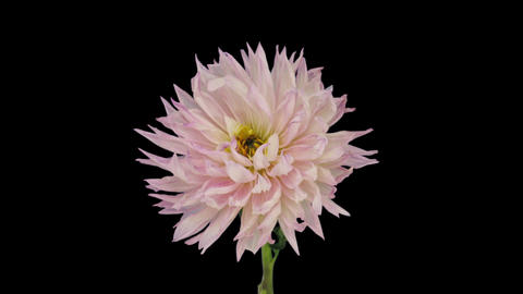 Time-lapse of dying pink dahlia flower 6x1 Footage