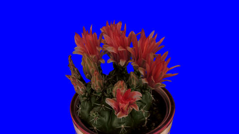 Time-lapse of blooming red cactus buds 2X1 isolate Footage