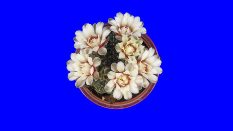 Time-lapse of blooming white cactus buds 5x1 isola Live Action