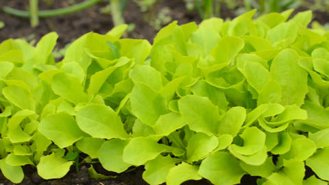 Move Through Green Salad Row, Motorized Dolly Shot stock footage
