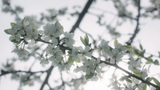 White Spring Blossom stock footage
