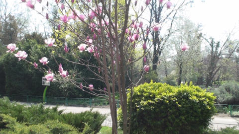 Beautiful Magnolias Nature, Sky, Beautiful, Trees, Footage