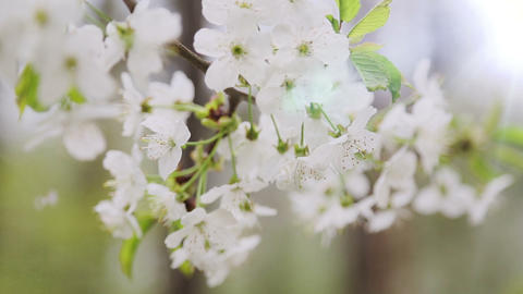 Changing focus on cherry tree branch at spring Footage