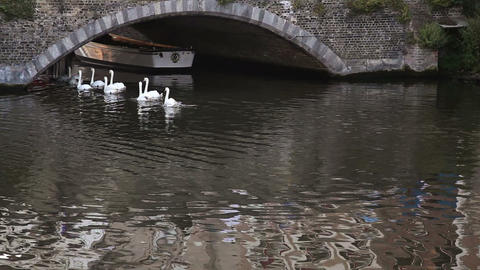 Swans Swimming In The Channel In Bruges, Belgium stock footage