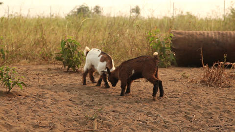 Goats playing Footage