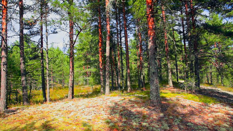 Northern Pine Forest stock footage