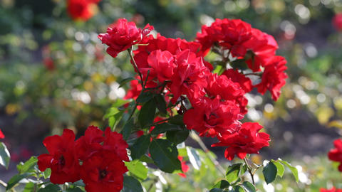 bright red roses Footage
