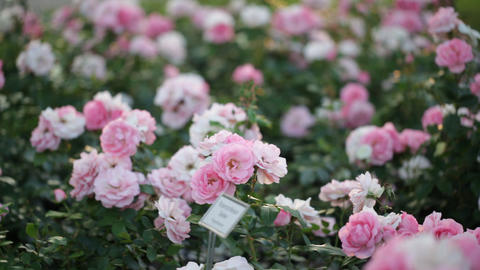 lush light pink roses Footage