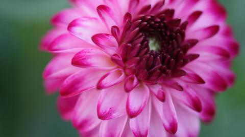 bright pink flower Footage