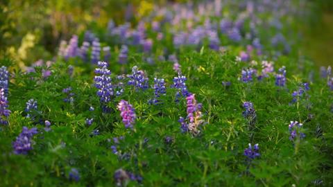 Beautiful spikes of purple wildflowers Footage
