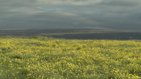 Yellow wildflowers in an Icelandic meadow Footage