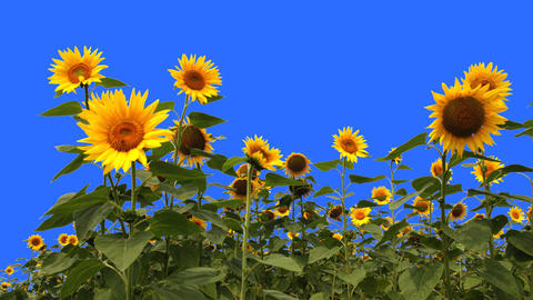 Blue Screen Keying Sunflower stock footage