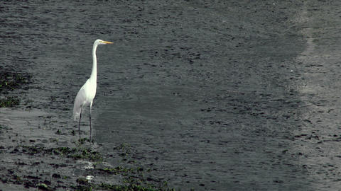 White Heron Standing In Shallow Water stock footage