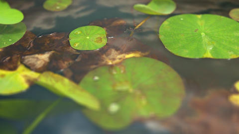 Timelapse water lillies Live Action