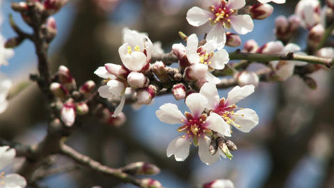 4K Blossoming Spring Tree 15 GIF