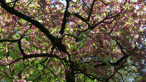 4K Cherry Blossoming Tree 2 Footage