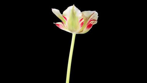 Yellow tulip bloom buds ALPHA matte, FULL HD (Tuli Footage