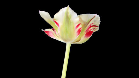 Yellow tulip bloom buds ALPHA matte, FULL HD (Tuli Live Action