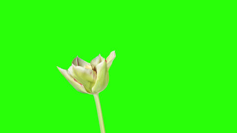 Yellow tulip bloom buds green screen, FULL HD (Tul Footage