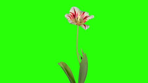Yellow tulip bloom buds green screen, FULL HD (Tul Footage