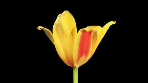 Yellow tulip bloom buds ALPHA matte, FULL HD (Tuli Footage