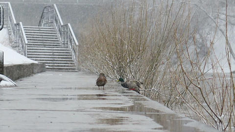 Drake comes to duck. It's snowing. Ekaterinburg. R Footage