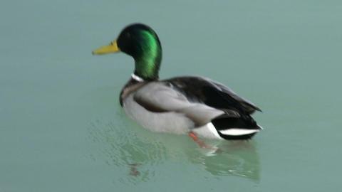 4K Dabbling Ducks Drake 2 Footage