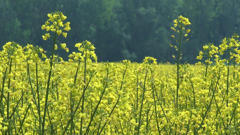 4 K Rapeseed Field Brassica Napus 1 Footage