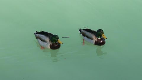 4K Dabbling Ducks Drakes 1 Footage