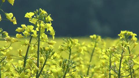 4 K Rapeseed Field Brassica Napus 2 Footage