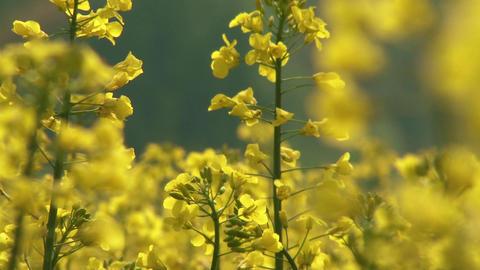 4 K Rapeseed Field Brassica Napus 8 Footage