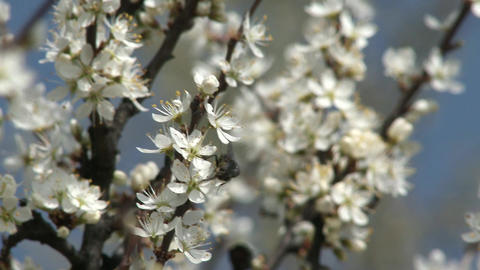 Blossoming Spring Trees 8 fly Footage
