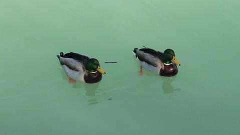 Dabbling Ducks Drakes 1 Footage