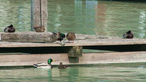 Dabbling Ducks on Deck 2 Footage