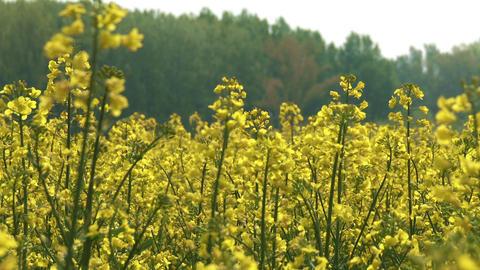Rapeseed Field Brassica Napus 5 Footage