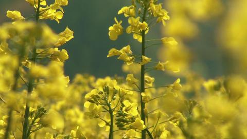 Rapeseed Field Brassica Napus 8 Footage