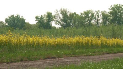 Rapeseed Field Brassica Napus 10 pan Footage