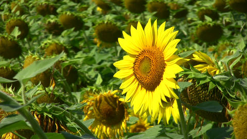 Morning Sunflower stock footage