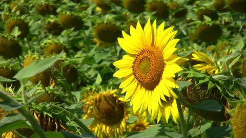 Morning Sunflower Footage