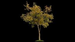 Autumn Tree Alpha stock footage