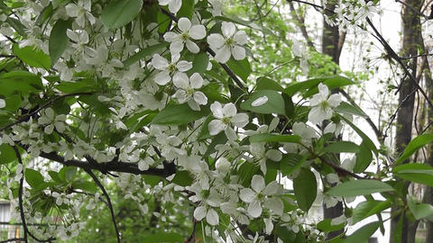 blossoming cherry tree Footage