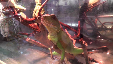 iguana in the terrarium Footage