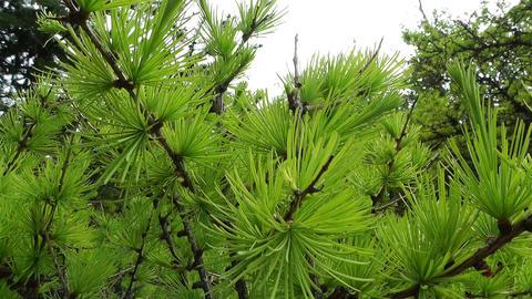 Fresh Spring Pine Tree Leaves 2 handheld Footage