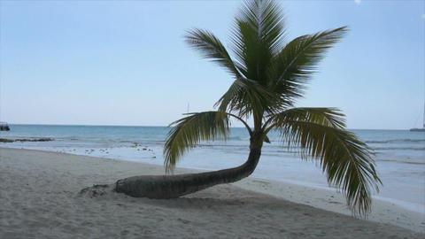 caribbean palm tree Footage